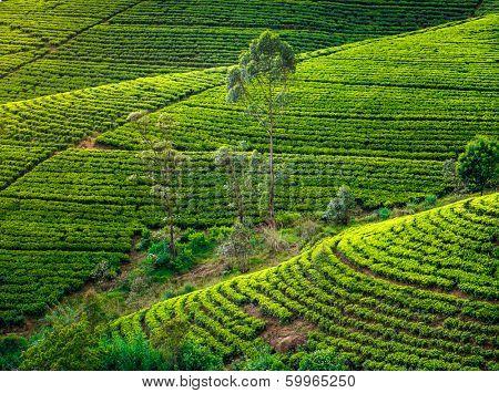 Tea plantation in Sri Lanka. Beautiful landscape