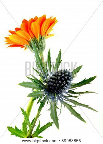 thistle with gerbera