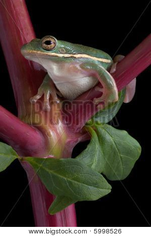 Green Tree Frog On Pokeweed