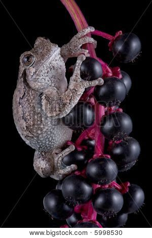 Tree Frog On Black Berries