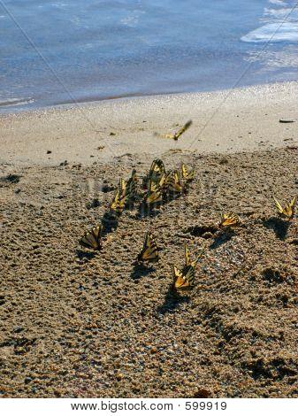 Yellow Butterflies On The Beach