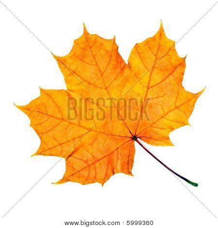 Maple Fall Leaf