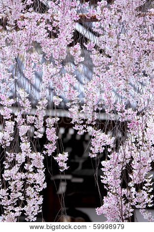 Weeping sakura with japanese temple