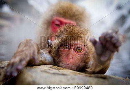 Monkey Hot Spring
