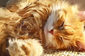 stock photo of orange kitten  - Close up of funny sleeping red cat - JPG