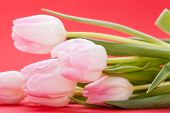 foto of dainty  - Symbolic seasonal spring background of dainty pink tulips with fresh green leaves and copyspace with focus to the flowers [[** Note: Shallow depth of field ** Note: Soft Focus at 100%, best at smaller sizes - JPG