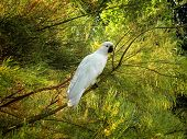 stock photo of cockatoos  - Cockatoo bird resting on a tree in Australia - JPG