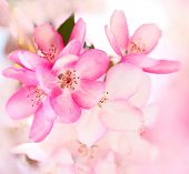 image of sakura  - Sakura flowers blooming - JPG