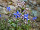 picture of borage  - borage flower herb medicine and food in the kitchen - JPG