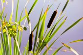 stock photo of bulrushes  - Bulrush and green leaves photographed on a sunny day in autumn