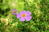 picture of dog-rose  - Flowers of wild  dog - JPG