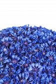 Beautiful Spring Flowers Blue Cornflower On Background