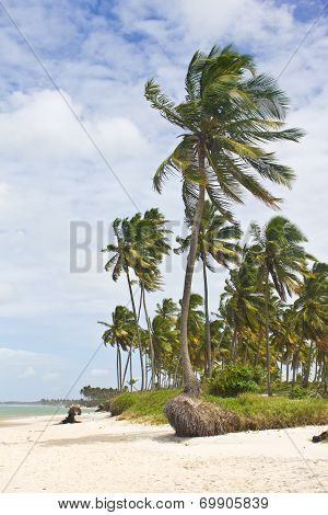 Coconut tree at Porto de Galinhas beach
