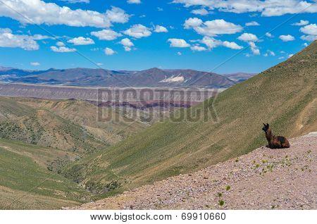 Lamas Taking Life Way Too Easy!, Bolivia