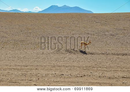 Lonely Guanaco In The Desert Of San Pedro De Atacama, Chile
