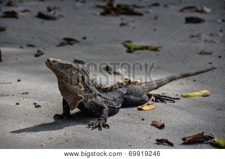 Iguana In Manuel Antonio National Park, Costa Rica