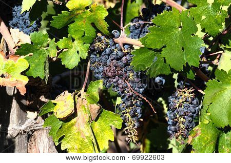 Grapes In Wineyard, Napa Valley, California, Usa