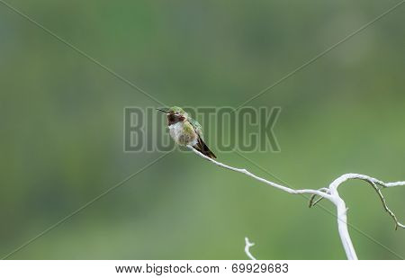 Broad Tailed Hummingbird Sitting On Pine Twig Tree