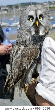 Great Gray Owl Latin name Strix nebulosa