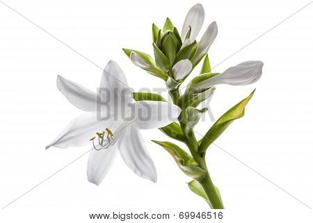Flowers Hosts, Lat. Hosta, Isolated On White Background
