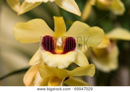Dendrobium Yellow Orchid Extreme Close Up