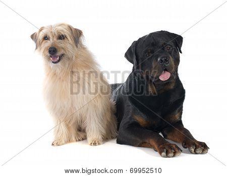 Rottweiler And Pyrenean Shepherd