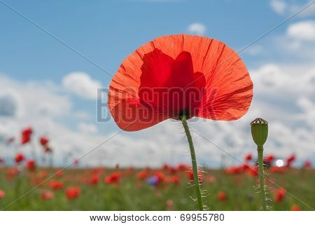 Red poppies on meadow in summer