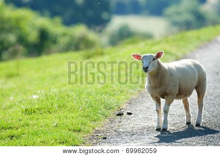 Sheep stood on a country lane