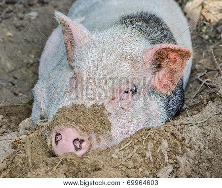 Pig In Dirt