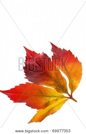 the colorful messenger of autumn. leaves on white background