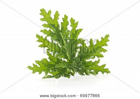 Citronella Plant Mosquito Repellant
