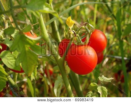 Cherry Tomatoes On Plant