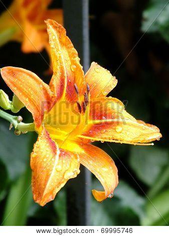 A beautiful lily sunlit