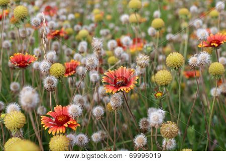 Field of flowers. Shallow DOF
