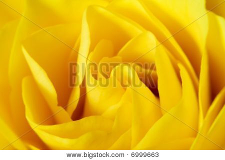 Close Up / Macro Of A Yellow Rose Flower