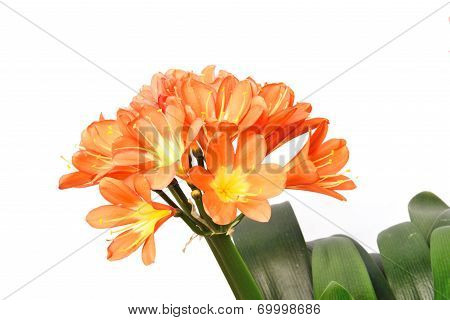 Closeup Of Kaffir Lily Flowers Isolated On White