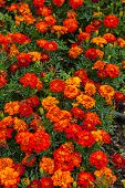 image of marigold  - Image of french marigold  - JPG