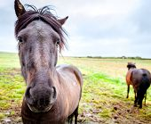 stock photo of iceland farm  - Icelandic Ponies on a farm in Iceland - JPG