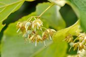 picture of linden-tree  - linden tree flowers on branch in summer - JPG