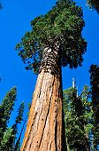 foto of sequoia-trees  - One Of The Biggest Sequoia Tree In The World - JPG