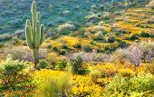 pic of ocotillo  - Backlit Saguaro and Gold Poppies in Arizona.