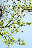 picture of dogwood  - Fresh leaves of dogwood  - JPG