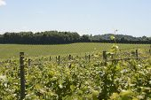 image of dork  - Grapevines in vineyard - JPG