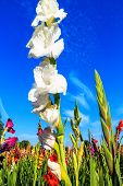 image of gladiola  - White flowering gladiolus and the blue sky