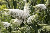 picture of butterfly-bush  - White buddleia - also know as the butterfly bush