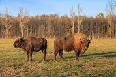 foto of aurochs  - aurochs on green grass in Bucsani Romania - JPG