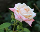 foto of puffy  - Beautiful park summer puffy Single  Rose with bud - JPG