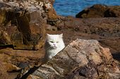 image of blue tabby  - Adorably cute white tabby Persian Ragdoll cat sitting relaxed on the beach in island Ko Wai Thailand