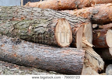 Freshly cut tree pine logs outdoors in day light
