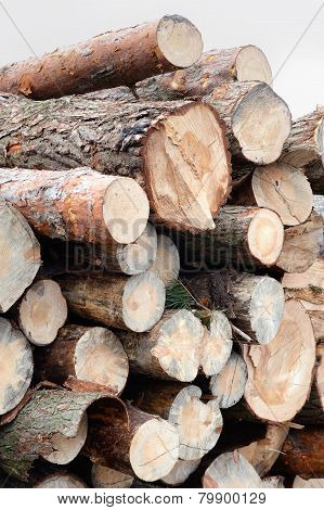 Freshly cut tree pine logs